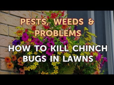 How To Kill Chinch Bugs In Lawns