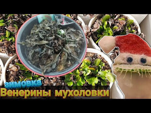 Зимовка венерины мухоловки. Что делать если чернеют ловушки и листья