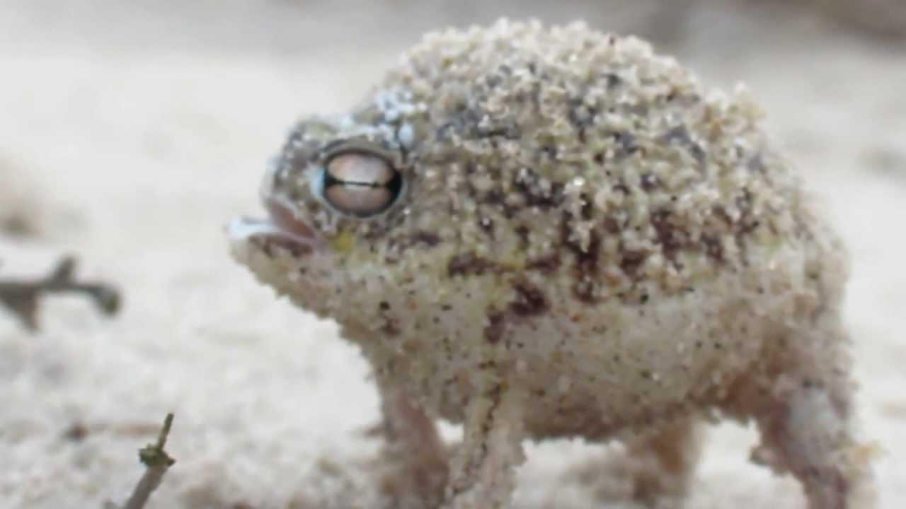 5 Minutes of Desert Rain Frog - YouTube