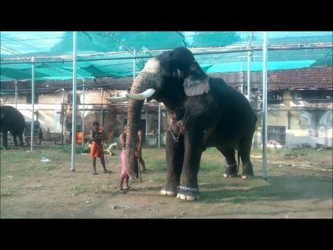 Churoormadam Rajasekharan at Thripunithura Vrishchikolsavam 2016 -Kerala Elephant Heroes