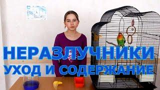 Попугаи неразлучники - уход и содержание