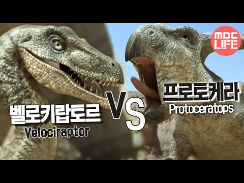 Velociraptor VS Protoceratops - The Land of Dinosaurs, #07, 벨로키랍토르 VS 프로토케라