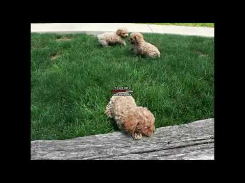 Toy Poodle Puppies For Sale Melvin Stoltzfus