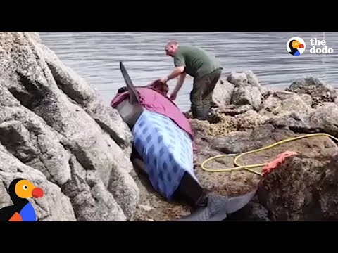 Orca Stranded On Rocks Is Kept Alive by Rescuers | The Dodo