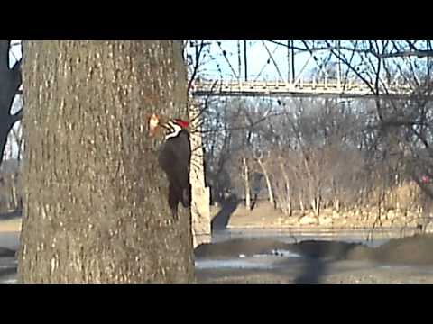 Pileated woodpecker at Starved Rock State Park.