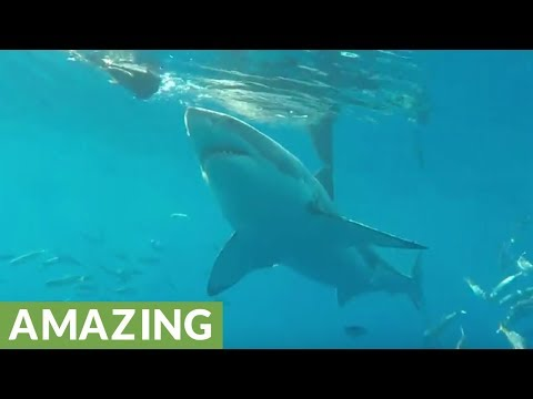 Angry Great White Shark bites boat and diving cage