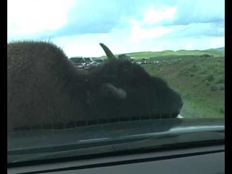 Buffalo attack on our car in Yellowstone....hehe