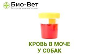 Кровь в моче у собак. Ветеринарная клиника Био-Вет.