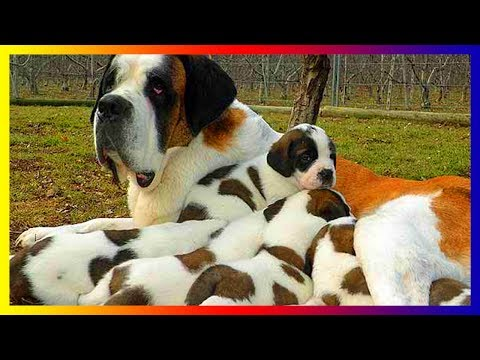 Pregnant Saint Bernards Dog Breeds Giving Birth To Many Cute Puppies