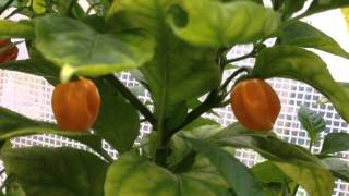 Growing Hot Chili Peppers 20 9 2014(dutch)