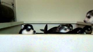 3 Week Old Pure Siberian Husky Puppies Trying A Great Escape