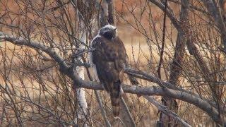 河川敷の散歩コースでオオタカを見つけました。頭の上で鳴いているカラ...