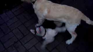 Husky Puppy Fight With A Golden Retriever Puppy