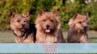 DOG BREEDS RASE LIST #N: NEAPOLITAN MASTIFF DOG, NORWICH TERRIER DOG, NORRBOTTENSPETS#