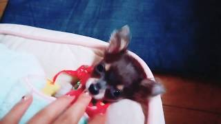チワワのサンちゃんの赤ちゃん時代の動画をアップします。超小型犬です ...