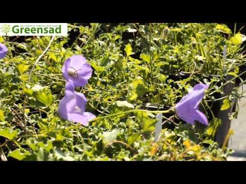 Колокольчик круглолистный, свойства растения