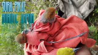 Gambar cover Suara Pikat Burung Ampuh