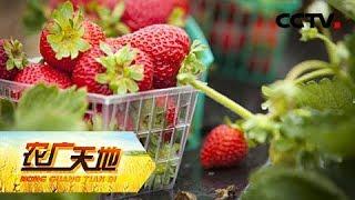 《农广天地》 20190529 让草莓二茬果不断茬| CCTV农业