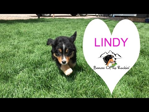 Bernese Mountain Dog Puppy - Lindy - Going Home Week!
