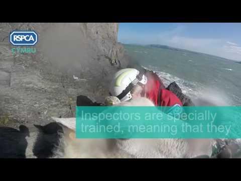 RSPCA Cymru video: Pembrokeshire sea sheep rescue April 2017