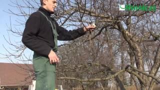 Obcinanie drzew - prześwietlanie jabło...