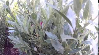 Big Plant Nursery - Laurus nobilis (Bay Tree)