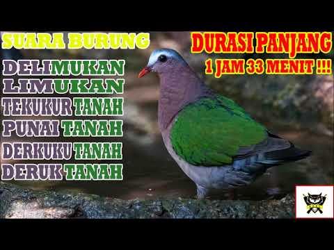 Suara Burung | Delimukan (Tekukur Tanah, Punai Tanah, Emerald Dove) Durasi Panjang