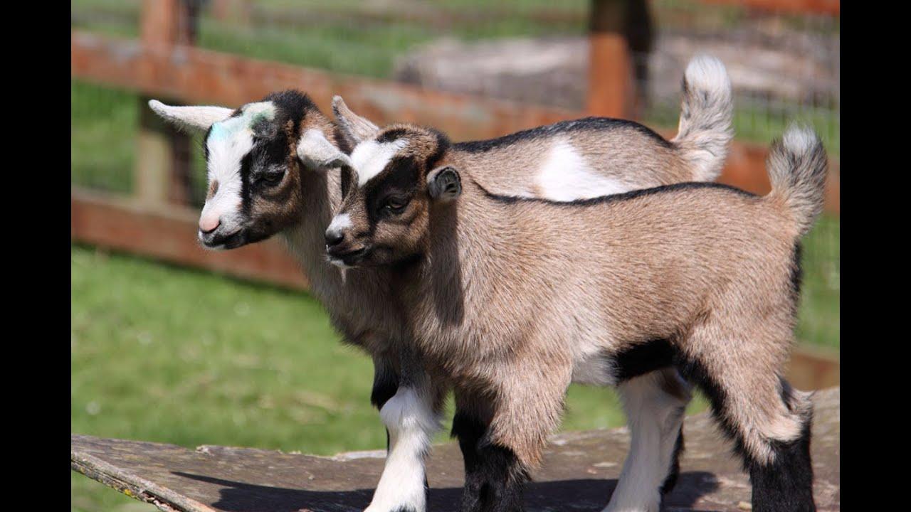 R Goats baby goats, rhode isla...