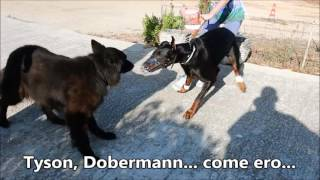 Amstaff aggressivo vs Dobermann