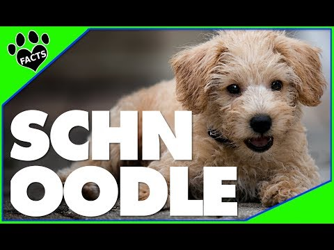 Schnoodle Dogs 101 10 Facts About Schnoodles Popular Designer Breeds - Animal Facts