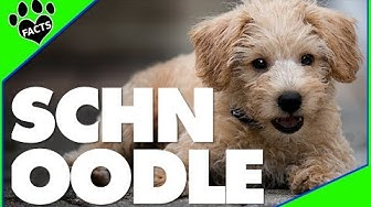Schnoodle Dogs 101 - 10 Facts About Schnoodles Designer Dogs