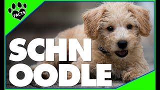 Schnoodle Dogs 101  10 Facts About Schnoodles Designer Dogs