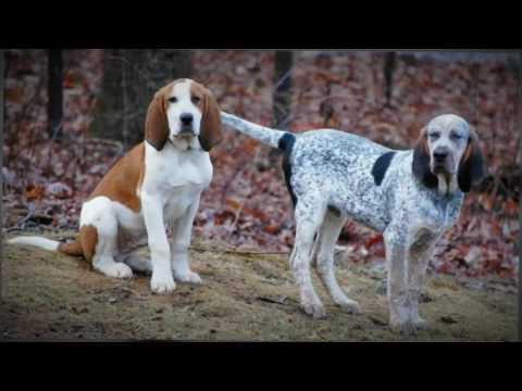 Trigg Hound - dog - {{.}}