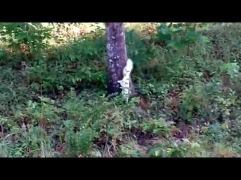 white squirrel gray squirrels at play - YouTube