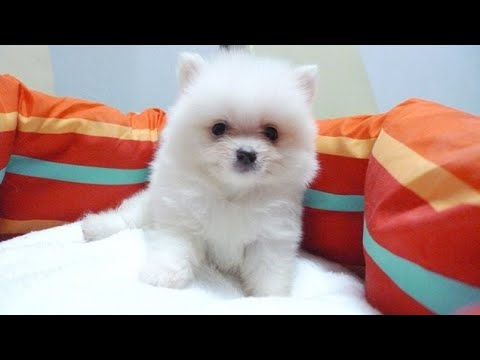 For sale Pomeranian male puppy at low price in hoshiarpur |Punjab wala