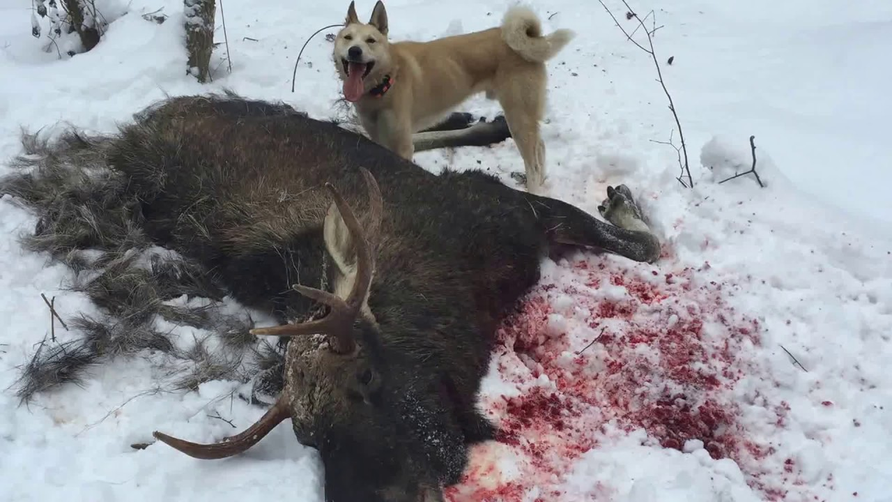 Охота на лося с лайками картинки