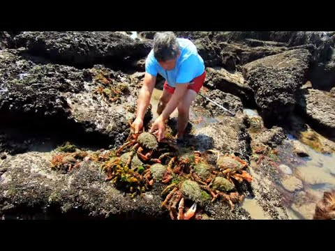 COASTAL FORAGING -- MY BIGGEST EVER HAND CAUGHT BLUE LOBSTER,  SPIDER CRABS AND PRIME SUMMER PRAWNS