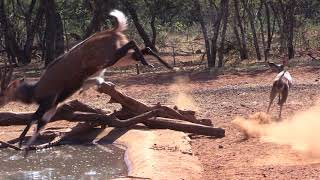Bowhunting Africa 2018- Mountain Reedbuck