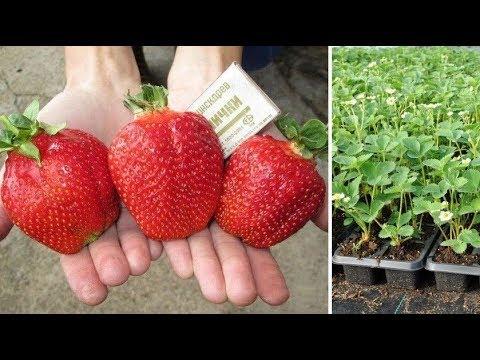 Эксклюзивные, супер-урожайные, лучшие на сегодняшний день сорта садовой земляники!