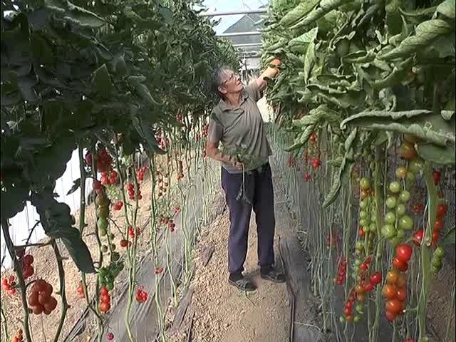Šta je potrebno za zagarantovan uspeh u proizvodnji čeri paradajza