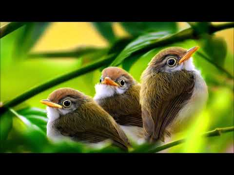 Morning Birds Singing | Ringtones For Android | Animal Ringtones