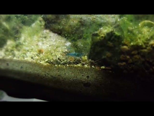 NEW blue velvet shrimp for my planted aquarium