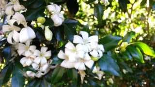Jasminum officinale - Iasomie inflorita vara HD 03