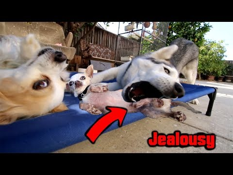 Jealous Husky Demanding Attention Throws A Tantrum | Veehoo Elevated Dog Bed