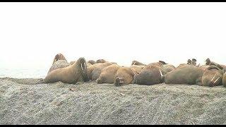 Спасти животных из Красной книги России: большие проблемы острова Вайгач в Ненецком АО