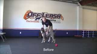 3 Year Old American Staffordshire Terrier, Caesar's Before/after Video