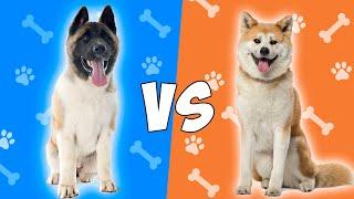 Akita Americano VS Akita Inu  Quien gana?