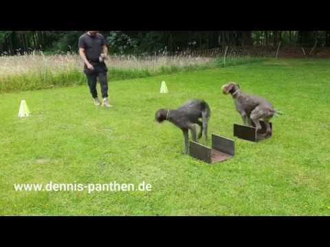 GERMAN WIREHAIRED POINTER Training and Obedience Deutsch Drahthaar