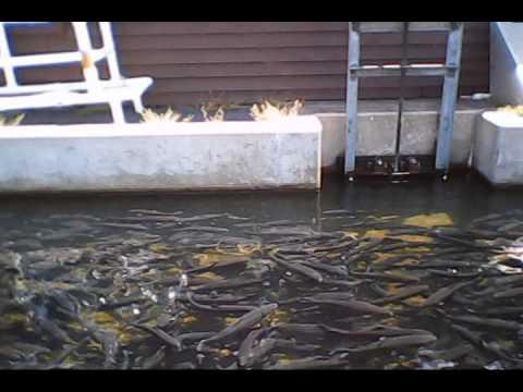 Soh trout hatchery branson mo 2012 youtube for Fish hatchery branson mo