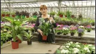 Кустовые растения. Цветы в доме. Выпуск 7(Из программы вы узнаете: о многообразии домашних растений, какие цветы подходят для вашего дома, в зависимо..., 2015-06-10T13:20:57.000Z)